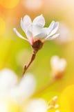 Roze bloeiende magnoliabloem stock afbeeldingen