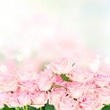 Roze bloeiende rozen Stock Foto's