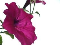 Roze Bloem Royalty-vrije Stock Afbeelding