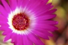 Roze Bloem Royalty-vrije Stock Fotografie