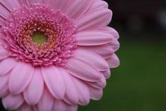 Roze Bloem Royalty-vrije Stock Afbeeldingen