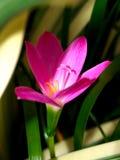 Roze bloem Stock Fotografie