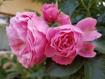 Roze Bloem Stock Foto's