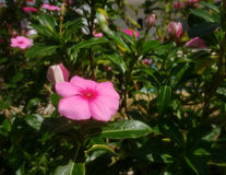 Roze bloem als hoofdobjet stock foto's