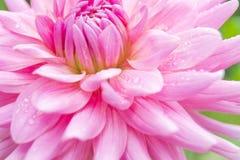 Roze bloem in Bois de Boulogne, Parijs Royalty-vrije Stock Fotografie