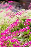 Roze bloem Coral Vine royalty-vrije stock fotografie