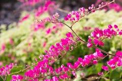 Roze bloem Coral Vine stock foto