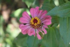 Roze bloem in de tuin royalty-vrije stock afbeelding