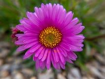 Roze bloem in de tuin royalty-vrije stock foto