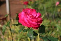 Roze bloem en groene bladeren Royalty-vrije Stock Foto's