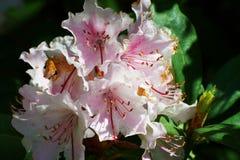 Roze bloem en groene bladeren Royalty-vrije Stock Fotografie