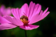Roze bloem en honingbij stock foto