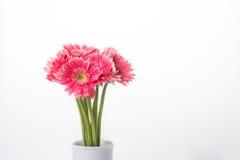 Roze bloem Gerbera Royalty-vrije Stock Fotografie