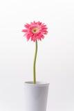 Roze bloem Gerbera Stock Foto