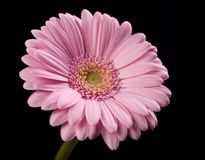 Roze Bloem Gerbera op Zwarte stock afbeelding