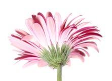 Roze Bloem Gerbera van de Rug Stock Foto's
