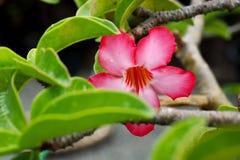 - roze bloem - groene bladeren Royalty-vrije Stock Foto