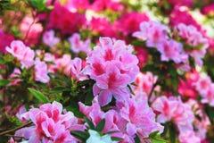 - roze bloem - groene bladeren Royalty-vrije Stock Fotografie