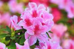 - roze bloem - groene bladeren Royalty-vrije Stock Foto's