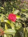 Roze bloem groene flowerplant Stock Foto's