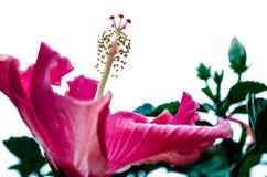 Roze Bloem Grote bloemblaadjes Stock Foto's
