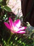 Roze bloem in grote pot Royalty-vrije Stock Foto