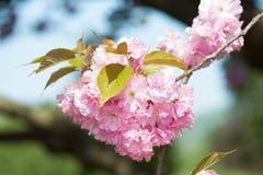 Roze bloem, kersenbloesem bij de lente royalty-vrije stock afbeeldingen