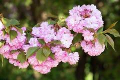 Roze bloem, kersenbloesem bij de lente royalty-vrije stock fotografie