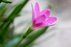 Roze bloem, lilly in regenwoud royalty-vrije stock afbeelding