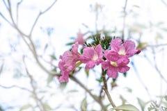 Roze bloem met onduidelijk beeldachtergrond, Roze trompetboom, Tabebuia r royalty-vrije stock foto