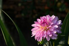 Roze bloem met veelvoudige bloemblaadjes bij zonsondergang royalty-vrije stock afbeelding