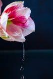 Roze bloem met waterdalingen over donkerblauwe achtergrond Royalty-vrije Stock Foto's