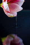 Roze bloem met waterdalingen over donkerblauwe achtergrond Royalty-vrije Stock Afbeelding