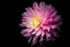 Roze bloem na de regen met zwarte achtergrond Royalty-vrije Stock Afbeeldingen