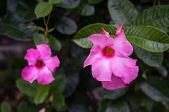 Roze bloem om het bloeien in tuin met donkergroen blad te ontluiken Stock Foto