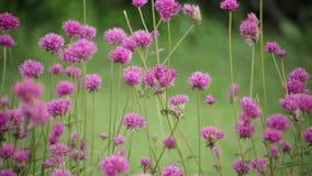 Roze bloem op de aardachtergrond van het tuinonduidelijke beeld, de uitstekende toon van de stijlkleur stock videobeelden