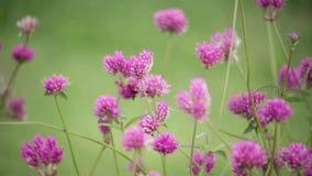 Roze bloem op de aardachtergrond van het tuinonduidelijke beeld, de Uitstekende toon van de stijlkleur, Natuurlijke groene vage a stock videobeelden