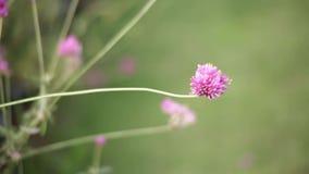 Roze bloem op de aardachtergrond van het tuinonduidelijke beeld, de Uitstekende toon van de stijlkleur, Natuurlijke groene vage a stock footage