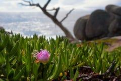 Roze bloem op de vreedzame kust Royalty-vrije Stock Afbeelding