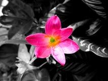 Roze bloem op donkere achtergrond royalty-vrije stock afbeelding