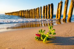 Roze bloem op het strand Stock Foto