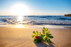 Roze bloem op het strand Royalty-vrije Stock Afbeeldingen