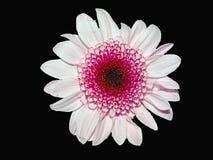 Roze bloem op zwarte Stock Foto's
