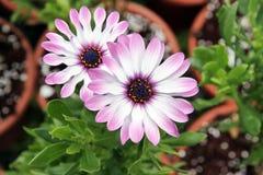 Roze bloem Osteospermum stock afbeeldingen