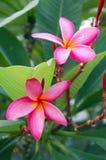 Roze Bloem Plumeria Royalty-vrije Stock Foto