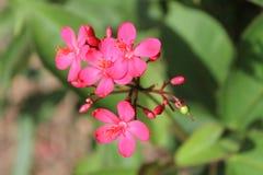 Roze bloem, Rode bloemblaadjes, snoepje weinig ding stock afbeelding