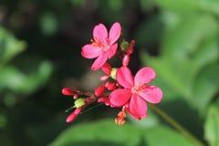 Roze bloem, Rode bloemblaadjes, snoepje weinig ding stock fotografie
