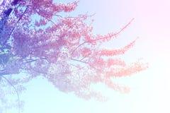 Roze Bloem Tabebuia Stock Afbeelding