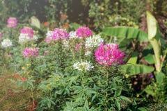 Roze bloem in tuin Royalty-vrije Stock Fotografie