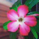 Roze bloem in tuin stock afbeeldingen